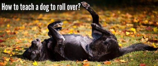 How to teach a dog to roll over?