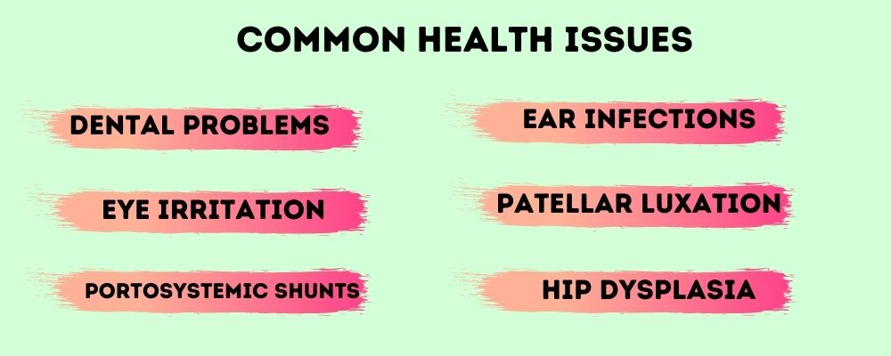 Common Health Issues In Maltese